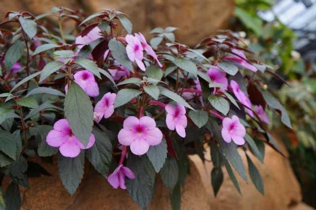 アキメネス-最小限のメンテナンスで青々とした花-美しい屋内植物