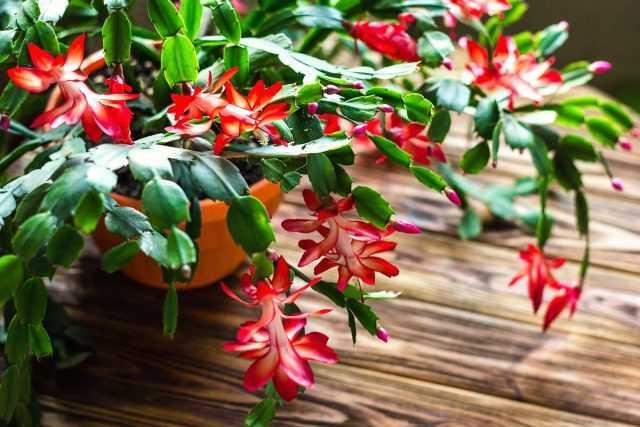 デカブリスト-豊かな開花を達成する方法は?