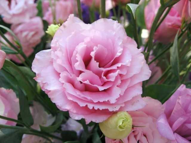 トルコギキョウ-花束の女王を育てる-育てて世話をする