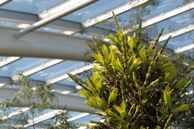プイア-アナナスエキゾチックジャイアント-美しい観葉植物