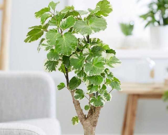 ポリシア-カラフルでお祭りで気取らない-美しい屋内植物