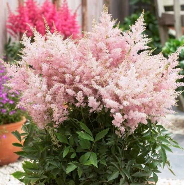 屋内アスティルバ-庭から部屋へそして戻って-美しい屋内植物