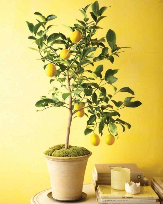 レモンは非常に重要な特性を備えています-人をトーンアップするために。