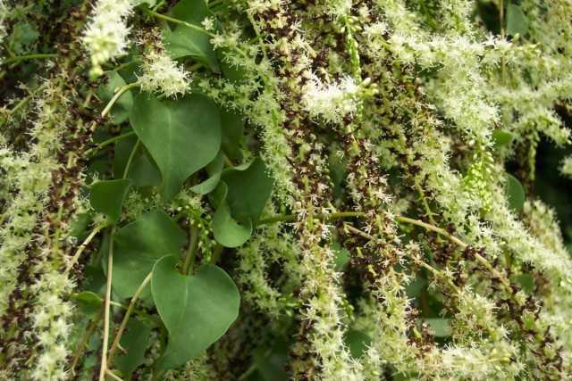 Lianaanredera-塊茎の奇跡