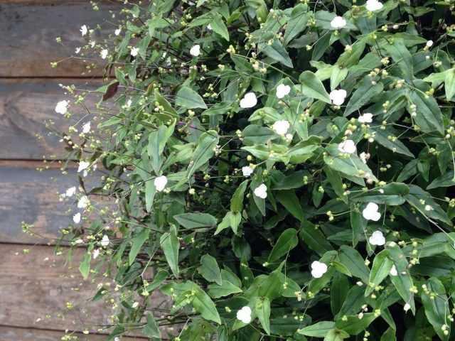 Tradescantia gibasis-花壇、コンテナ、窓枠用の「白いベール」-ケア
