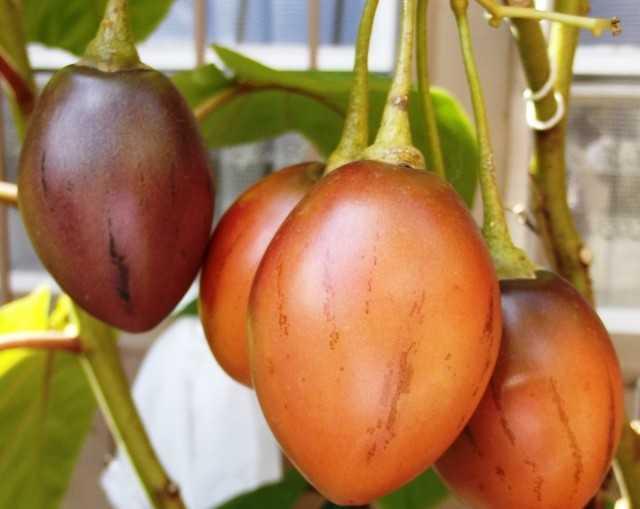 Tsifomandra-私たちは部屋でトマトの木を育てます-ケア