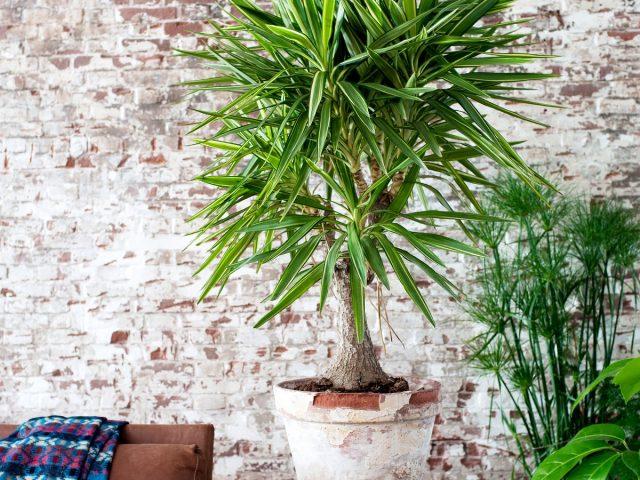 실내 유카-야자 나무 관리에 대한 덜 변덕스러운 대안