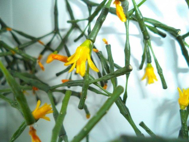 하티 오라 식염수-정제 된 선인장-재배 및 관리