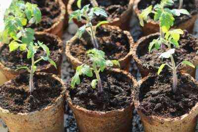 Jak radzić sobie z suszonymi liśćmi na sadzonkach pomidorów