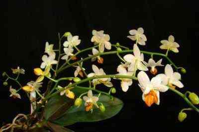 Jak używać kory do phalaenopsis