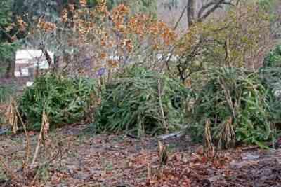 Schronisko róż pnących na zimę - co doradzają doświadczeni ogrodnicy