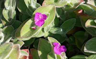 Tradescantia Sillamontana - jak rosnąć w domu