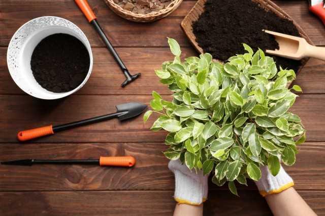5 głównych zasad przesadzania roślin domowych na wiosnę – Piękne rośliny domowe
