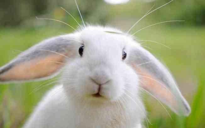 Como tratar a conjuntivite em coelhos em casa