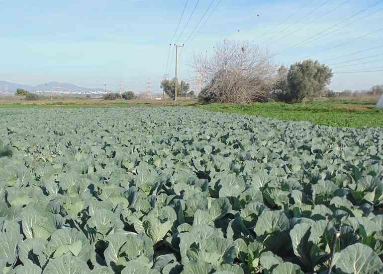 A temperatura ideal para o cultivo de mudas de repolho
