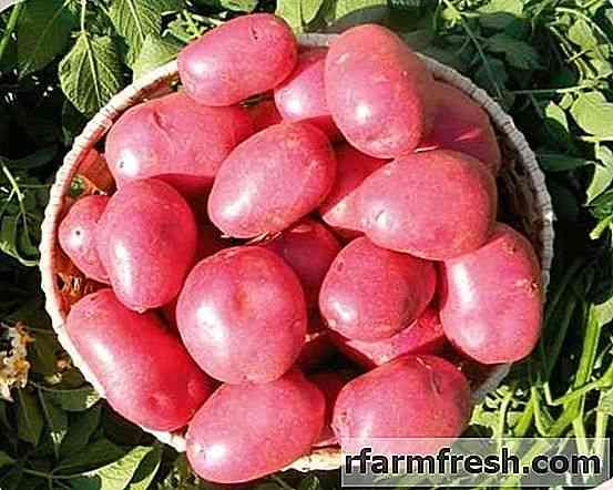 Características das variedades de batata Labella