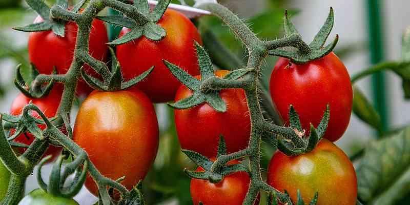 Como processar sementes de tomate antes de plantar