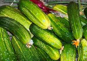 As melhores variedades de pepinos autopolinizadas