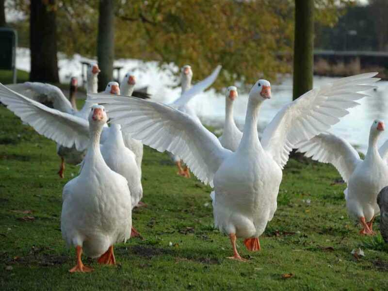 Tudo sobre criação de gansos