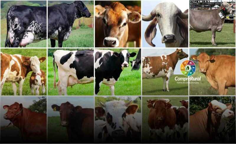 A raça mais popular de vacas de todo o mundo