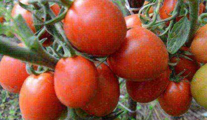 Variedades vegetais de pimentas siberianas