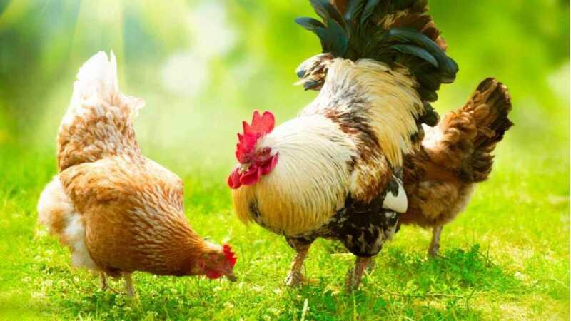 Galinhas de galinha