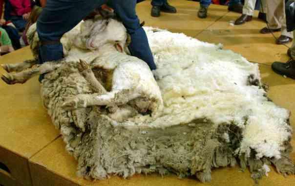 Quando e por que ovelhas e ovelhas são cortadas