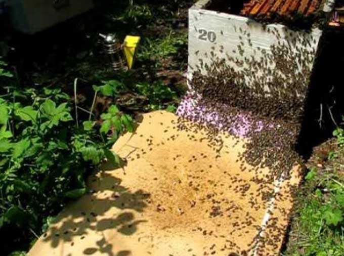 Como lidar com a enxameação em um apiário