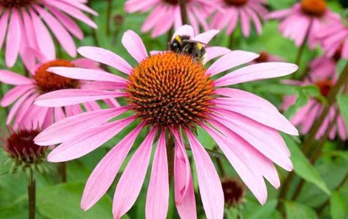 Echinacea como planta de mel