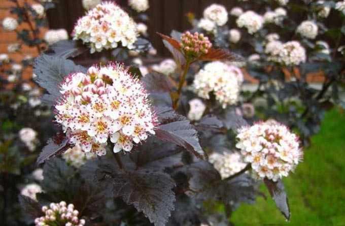 Spirea (meadowsweet) como uma planta de mel