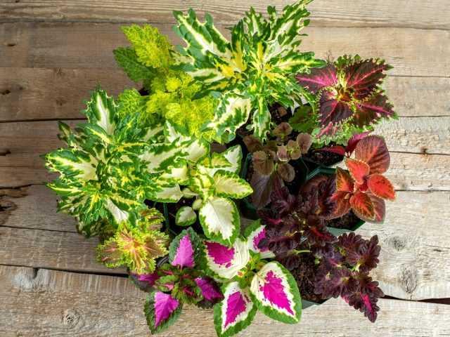 10 variedades incrivelmente vibrantes de cuidados Coleus