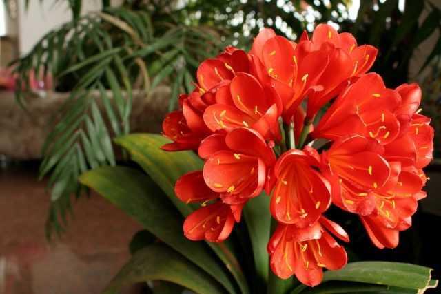 Clivia – fígado longo de interior entre flores em flor – Cuidado