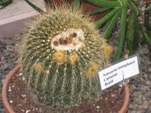 Notocactus é apenas uma paródia – saindo
