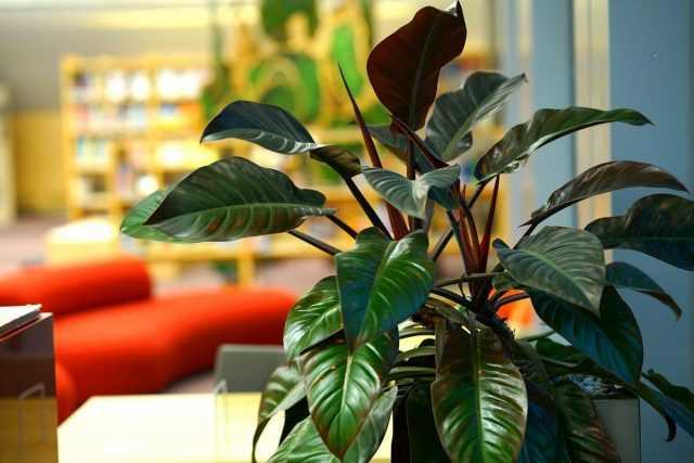 Philodendron – clássico folhoso decorativo da floricultura interior-Care