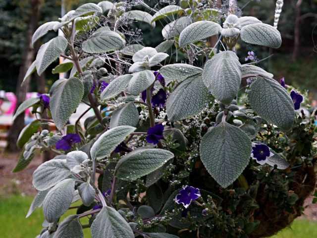 Plectrantus – bonito, perfumado e útil – Cuidado