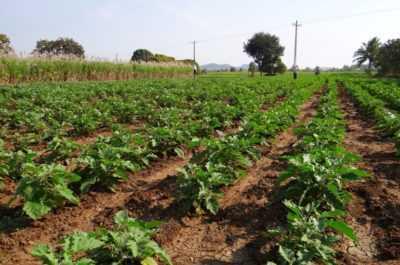 Açık alanda patates yetiştirmek için kurallar