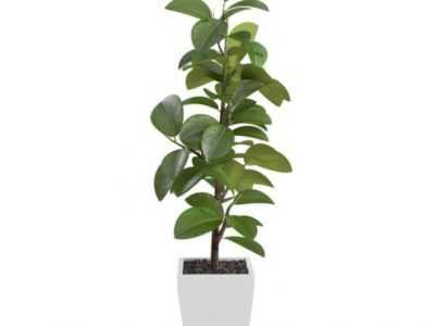 Ficus cyatistipula'nın özellikleri