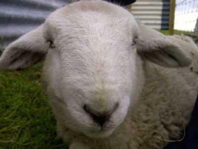 Hangi koyun hastalıkları var