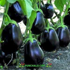 Patlıcan Bibo açıklaması