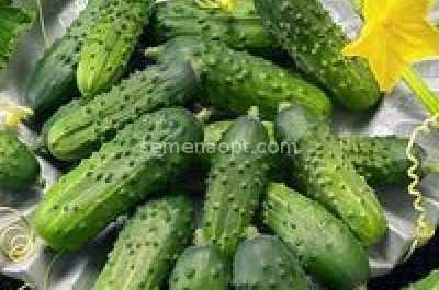 Saracen Cucumber Variety açıklaması