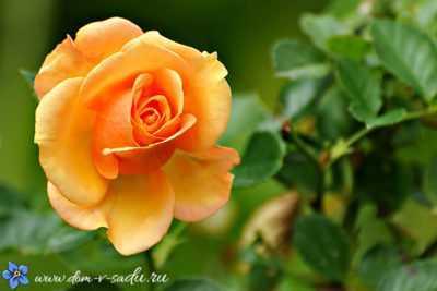 Sibirya'da kış için gülleri koruyoruz - prosedürün özellikleri