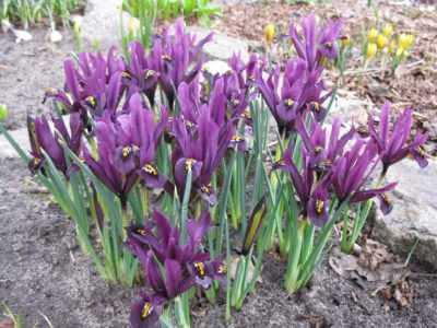 Sonbaharda süsen nasıl ekilir - adım adım talimatlar