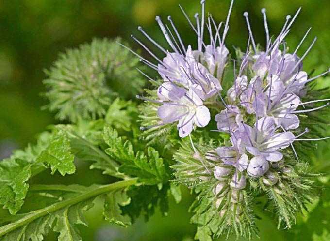 Arılar için hangi bal bitkileri ekilir