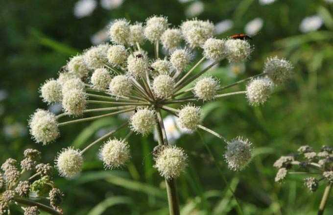 Bal bitkisi olarak Angelica değeri