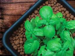Büyüyen bitkiler için bir substrat olarak genişletilmiş kil