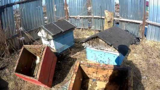 İlkbaharda arılar temiz bir kovana nasıl nakledilir?