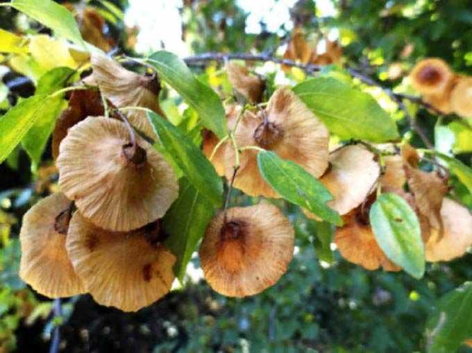 Melliferous bir bitki olarak ağacın değeri