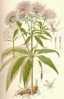 Melliferous bir bitki olarak kenevir özü (kenevir)