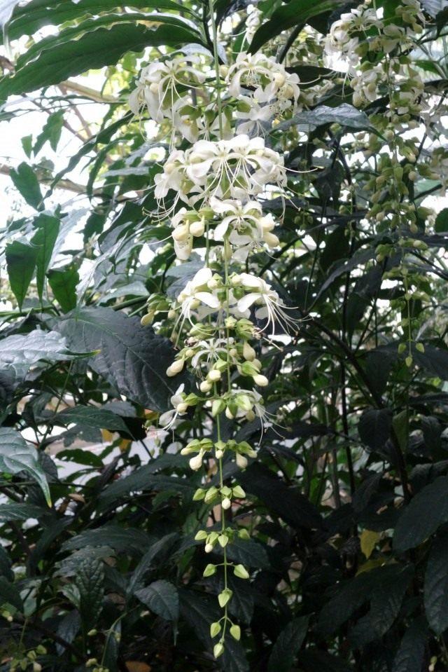 Clerodendrum laevifolium