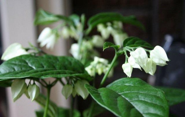 Клеродендрум (Klerodendrum)